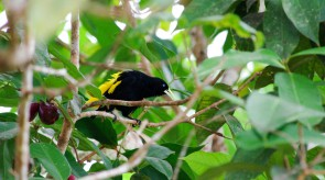 20150702_Yellow_rumped_Cacique.jpg