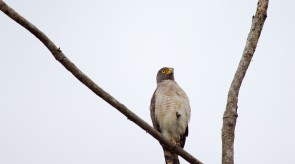 20150705_Roadside_Hawk.jpg