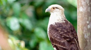 20150705_Yellow_headed_Caracara.jpg