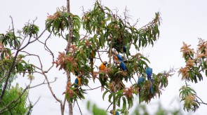 20150706_Blue_and_Yellow_Macaw_1.jpg